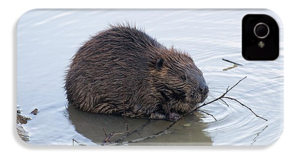 Beaver Chewing On Twig IPhone 4 / 4s Case by Chris Flees
