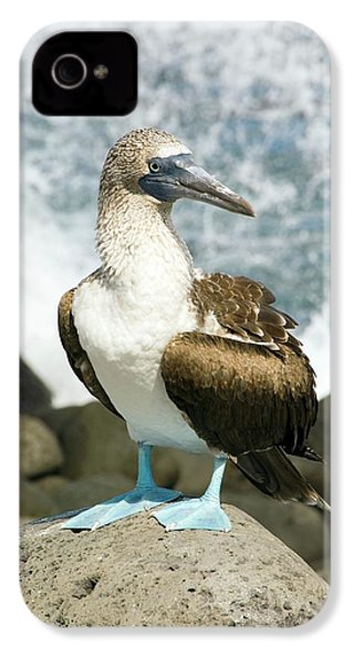 Blue-footed Booby IPhone 4 / 4s Case by Daniel Sambraus