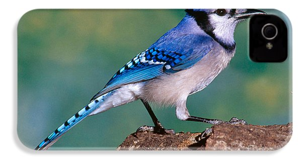 Blue Jay IPhone 4 / 4s Case by Millard H. Sharp