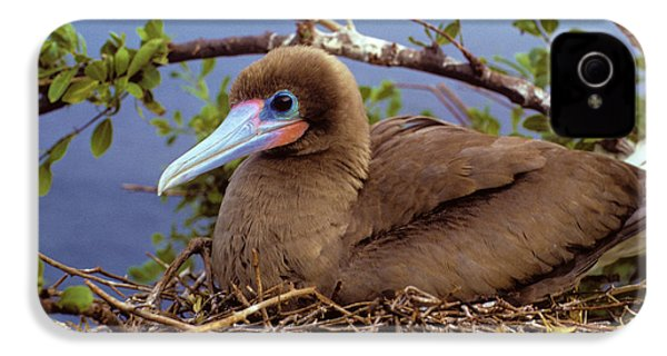 Brown Color Morph Of Red-footed Booby IPhone 4 / 4s Case by Thomas Wiewandt