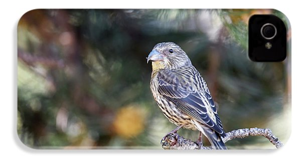 Common Crossbill Juvenile IPhone 4 / 4s Case by Dr P. Marazzi