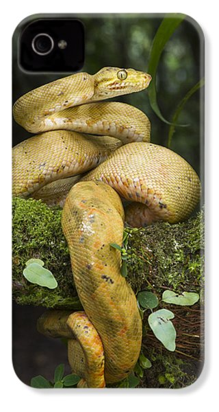Common Tree Boa -yellow Morph IPhone 4 / 4s Case by Pete Oxford