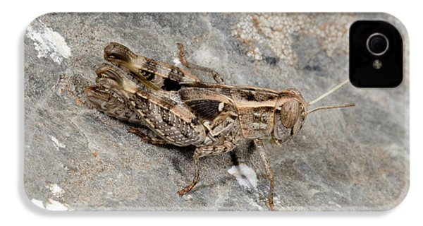 Grasshopper Calliptamus Barbarus Juvenile IPhone 4 / 4s Case by Nigel Downer