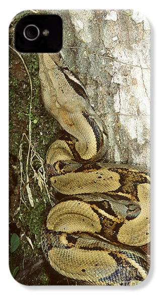 Juvenile Boa Constrictor IPhone 4 / 4s Case by Gregory G. Dimijian, M.D.