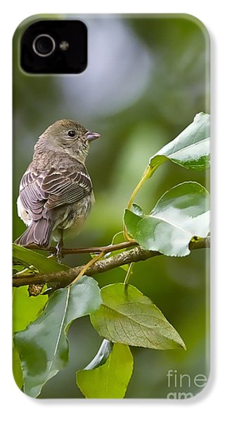 Lazuli Bunting Female 2 IPhone 4 / 4s Case by Sharon Talson