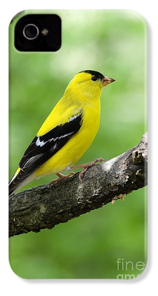Male American Goldfinch IPhone 4 / 4s Case by Thomas R Fletcher