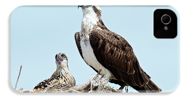 Osprey And Chick IPhone 4 / 4s Case by Bob Gibbons