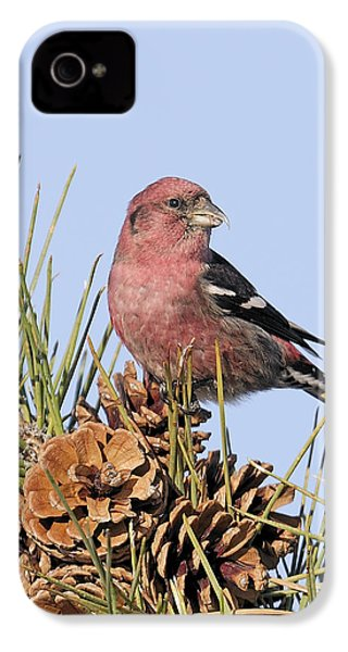 White-winged Crossbill On Pine IPhone 4 / 4s Case by Allan Rube