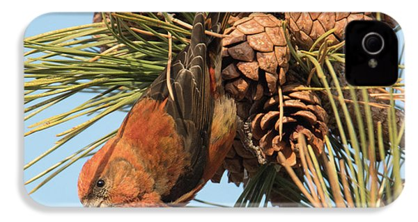 Crossbill IPhone 4 / 4s Case by Judd Nathan
