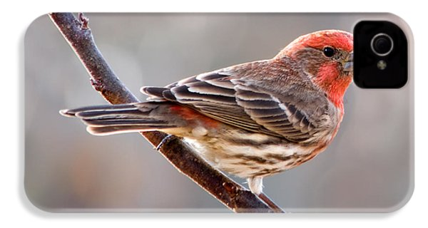 House Finch IPhone 4 / 4s Case by Betty LaRue