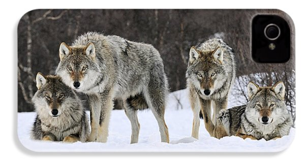 Gray Wolf Canis Lupus Group, Norway IPhone 4 / 4s Case by Jasper Doest
