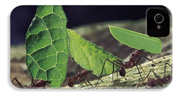 Leafcutter Ant Atta Cephalotes Workers IPhone 4 / 4s Case by Mark Moffett