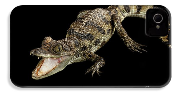 Young Cayman Crocodile, Reptile With Opened Mouth And Waved Tail Isolated On Black Background In Top IPhone 4 / 4s Case by Sergey Taran