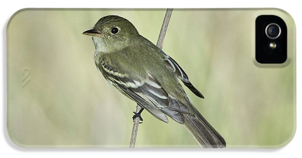 Acadian Flycatcher IPhone 5 / 5s Case by Anthony Mercieca