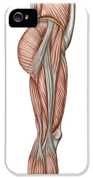 Inflammation iPhone 5 Cases - Anatomy Of Human Thigh Muscles iPhone 5 Case by Stocktrek Images