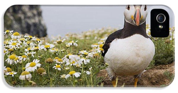 Atlantic Puffin In Breeding Plumage IPhone 5 / 5s Case by Sebastian Kennerknecht