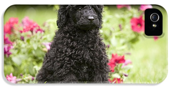 Canid iPhone 5 Cases - Black Poodle iPhone 5 Case by Jean-Michel Labat