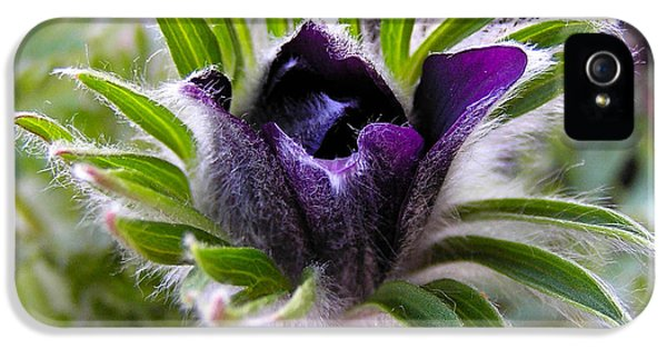 Common Pasque Flower iPhone 5 Cases - Blue Pasque Flower - closeup iPhone 5 Case by Kerstin Ivarsson