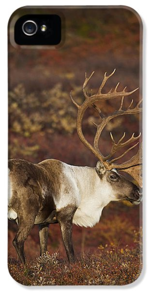 Caribous iPhone 5 Cases - Bull Caribou On Autumn Tundra In Denali iPhone 5 Case by Milo Burcham