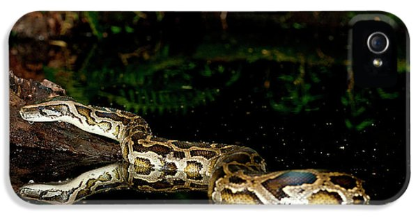 Burmese Python, Python Molurus IPhone 5 / 5s Case by David Northcott