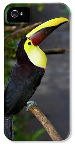 Chestnut-mandibled Toucan, Ramphastos IPhone 5 / 5s Case by Thomas Wiewandt