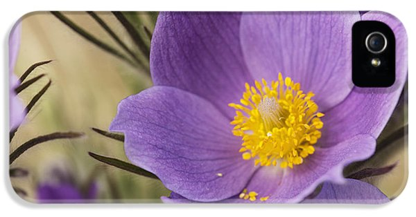 Pasque Flower iPhone 5 Cases - Crocus_ Yukon, Canada iPhone 5 Case by Robert Postma