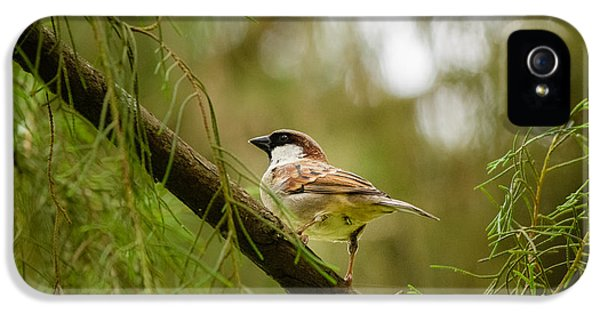 Passeridae iPhone 5 Cases - House Sparrow iPhone 5 Case by Saurav Pandey