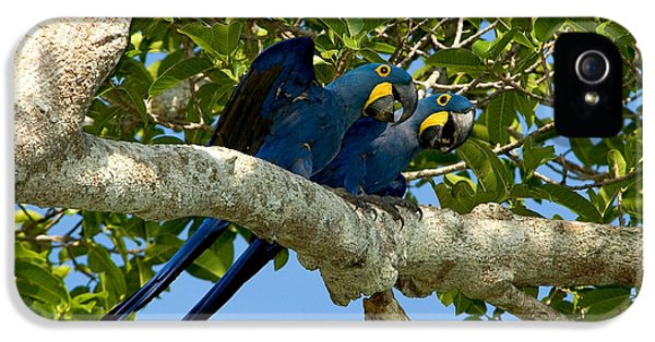 Hyacinth Macaws, Brazil IPhone 5 / 5s Case by Gregory G. Dimijian, M.D.
