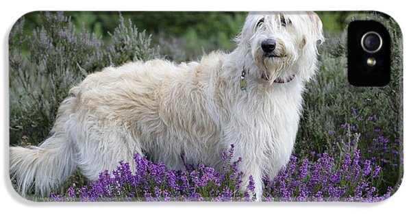Canid iPhone 5 Cases - Labradoodle Dog iPhone 5 Case by John Daniels