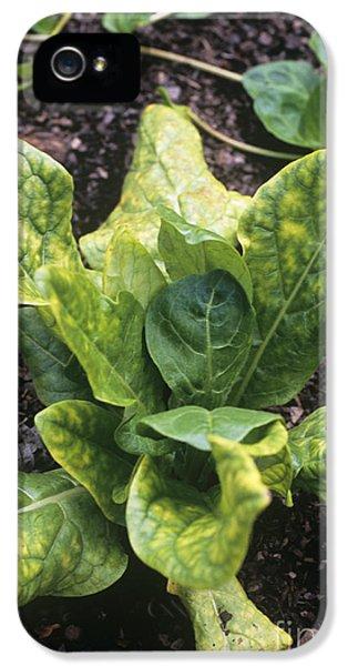 Alkaloid iPhone 5 Cases - Mandrake Mandragora Officinarum iPhone 5 Case by Adrian Thomas