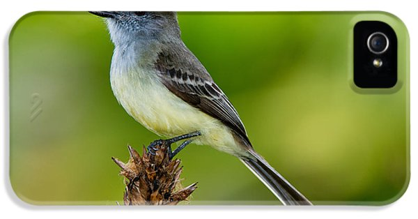 Pale-edged Flycatcher IPhone 5 / 5s Case by Anthony Mercieca