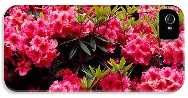 Shore Acres iPhone 5 Cases - Rhododendrons Plants In A Garden, Shore iPhone 5 Case by Panoramic Images