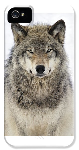 Timber Wolf Portrait IPhone 5 / 5s Case by Tony Beck