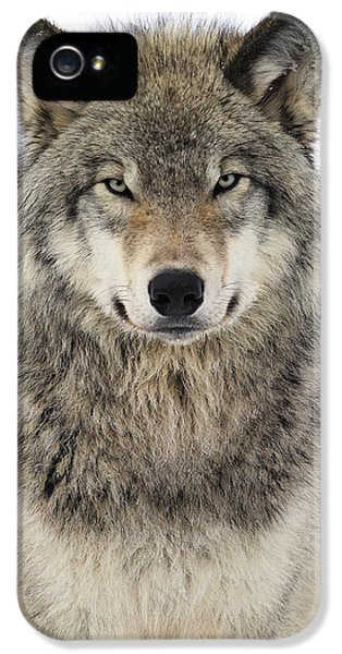 Canada iPhone 5 Cases - Timber Wolf Portrait iPhone 5 Case by Tony Beck