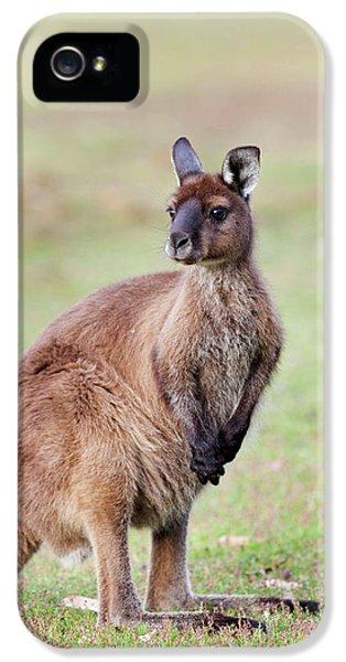 Western Grey Kangaroo (macropus IPhone 5 / 5s Case by Martin Zwick