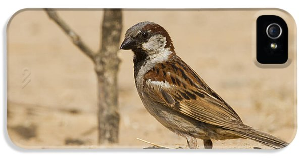 Passer Domesticus iPhone 5 Cases - House Sparrow Passer domesticus biblicus iPhone 5 Case by Eyal Bartov