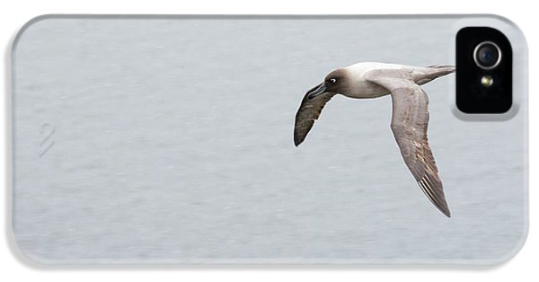 A Light Mantled Albatross IPhone 5 / 5s Case by Ashley Cooper