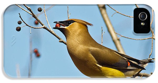 Cedar Waxwing With Berry IPhone 5 / 5s Case by Robert Frederick