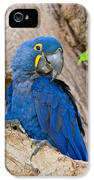 Meeting iPhone 5 Cases - Close-up Of A Hyacinth Macaw iPhone 5 Case by Panoramic Images