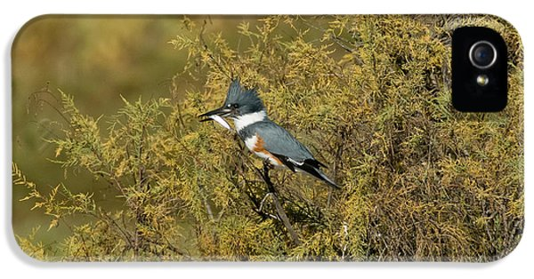 Belted Kingfisher With Fish IPhone 5 / 5s Case by Anthony Mercieca