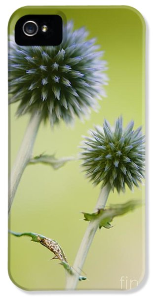 Echinops iPhone 5 Cases - Globe Thistle Echinops Ritro iPhone 5 Case by Maria Mosolova