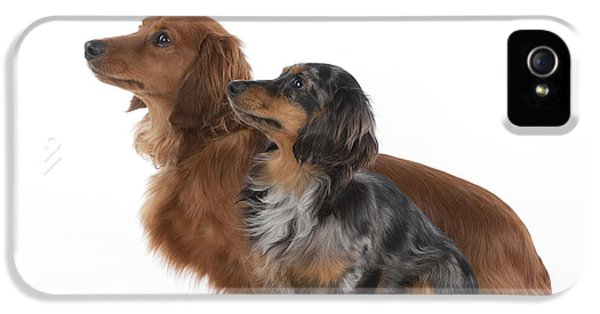 Canid iPhone 5 Cases - Miniature Long-haired Dachshunds iPhone 5 Case by John Daniels