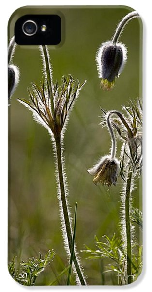 Pasque Flower iPhone 5 Cases - Pasque Flower Pulsatilla iPhone 5 Case by Bob Gibbons