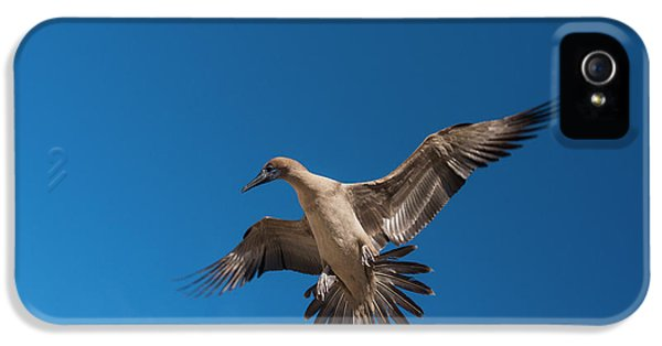 Red-footed Booby (sula Sula Websteri IPhone 5 / 5s Case by Pete Oxford