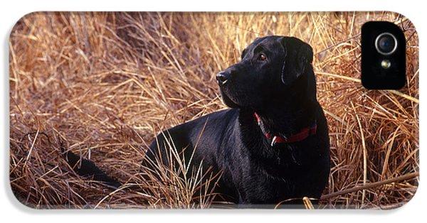 Canid iPhone 5 Cases - Black Labrador Retriever iPhone 5 Case by William H. Mullins