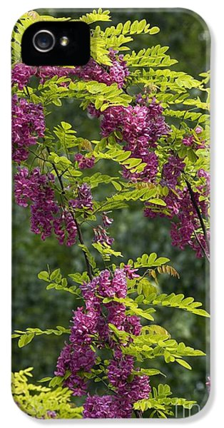 Bristly Rose iPhone 5 Cases - Rose Acacia Robinia Hispida iPhone 5 Case by Bob Gibbons