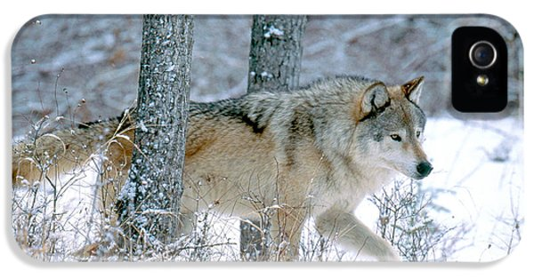 Canid iPhone 5 Cases - Gray Wolf iPhone 5 Case by Art Wolfe