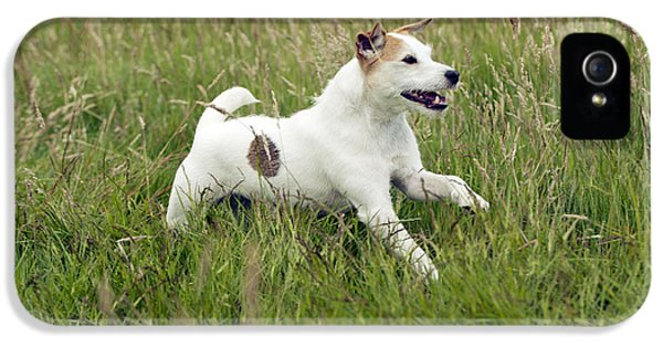 Canid iPhone 5 Cases - Jack Russell Terrier iPhone 5 Case by John Daniels