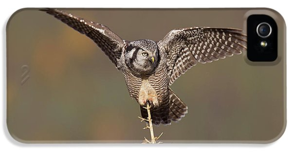 A Northern Hawk Owl Surveys The Boreal IPhone 5 / 5s Case by Hugh Rose