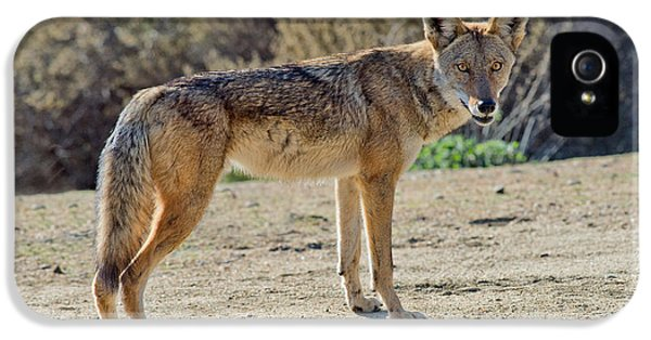 Canid iPhone 5 Cases - Alert Coyote iPhone 5 Case by Anthony Mercieca